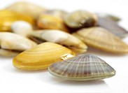 Wedge Shell, donax trunculus, Shells against White Background