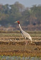 Sarus Crane Grus antigone adult, standing in field, Rajasthan, India, january