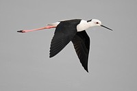 Black_winged Stilt Himantopus himantopus adult, in flight, Nam Sang Wai, Hong Kong, China, october