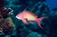Lyretail anthias or Goldie Pseudanthias squamipinnis male  Red Sea, Egypt