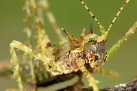 Moss Katydid Campionica montana adult, close_up of head, Manu Road, Departemento Cusco, Andes, Peru