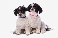 black and white havanese puppies, st. albert alberta canada