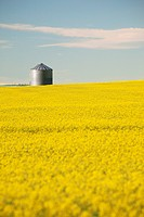 flowering canola with grain bins in the background with blue sky and clouds, alberta canada