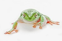 fat green tree frog on a white background