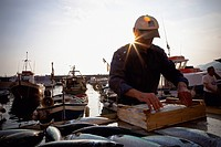 A Fisherman Packing Fish Into A Wooden Crate, Camogli Liguria Italy