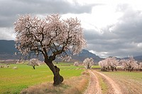 Old almond tree in blossom, Biosfera reserve, Leza valley, Rioja wine region, Spain