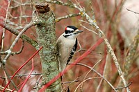 Downy Woodpecker Picoides pubescens male