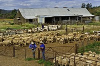 Australia, South Australia, Angorichina Station, the all team of owner Ian Fargher are mustering and shearing the sheeps