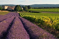 France, Drome, Drome provencale, lavender fields around Grignan