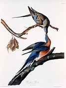 Passenger Pigeon Ectopistes migratorius. Extinct. A print by John James Audubon 1785_1851 from his Birds of America.