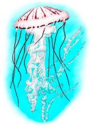 Illustration of a purple striped jellyfish Chrysaora colorata, formerly Pelagia colorata.