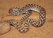 An adult Western Hognose Snake Heterodon nasicus from Finney County, Kansas.