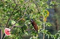 Male Montezuma Oropendola tropical icterid bird in the Arenal Volcano National Park near La Fortuna, San Carlos, Costa Rica.