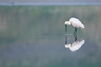 Eurasian Spoonbill or Common Spoonbill Platalea leucorodia, Island of Texel, Holland, The Netherlands, Europe