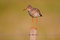 Redshank (Tringa totanus) perched on a fence post, Lauwersmeer National Park, Holland, Netherlands, Europe
