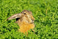 Brown hare Lepus europaeus sitting in clover, Burgenland, Austria, Europe