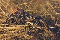 American Toad, Bufo americanus, mating in Spring. Connecticut