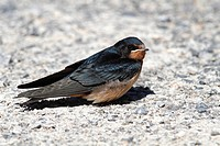 Barn Swallow (Hirundo rustica), fledged young sitting on ground, Illmitz, Lake Neusiedl, Burgenland, Austria, Europe