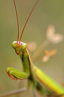 European Mantis or Praying Mantis (Mantis religiosa), Alsace, France, Europe