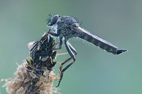 Kite_tailed Robber Fly Tolmerus atricapillus, Haren, Emsland region, Lower Saxony, Germany, Europe