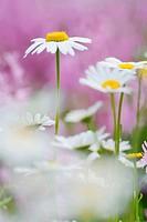 Daisies (Leucanthemum)