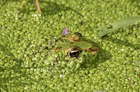 Water Frog Rana sp. in water covered with duckweed, Leptokaria, Greece, Europe