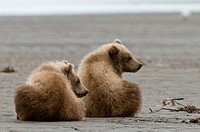 Brown bear cubs Ursus arctos in Lake Clark National Park Alaska