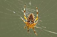 European Garden Spider or Cross Spider Araneus diadematus, Europe