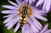 European hoverfly (Helophilus trivittatus), feeding on Autumn aster (Aster sp.), Untergroeningen, Baden-Wuerttemberg, Germany, Europe