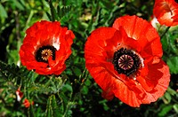 Red poppies, Oriental poppy (Papaver orientale) with rain drops