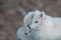 Arctic foxes Vulpes lagopus, Yukon Wildlife Preserve.