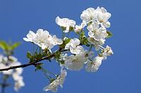 Cherry blossoms (Prunus sp.), Mostviertel, Must Quarter, Lower Austria, Austria, Europe