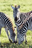 Burchell's Zebras or Plains Zebras (Equus quagga), Ngorongoro Crater, Tanzania, Africa