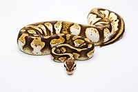 Royal Python Python regius, Pastel Calico, female, Markus Theimer reptile breeding, Austria