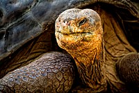 Giant Land Tortoise, Galapagos Islands