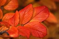 Autumn coloured leaves, Dog rose (Rosa canina), Germany, Europe