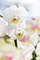 Orchids (Phalaenopsis)
