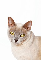 Burmese cat, portrait