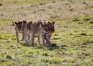 Group of young Lions (Panthera leo), Masai Mara National Reserve, Kenya, East Africa, Africa, PublicGround