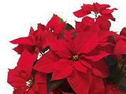 Poinsettia (Euphorbia pulcherrima), red Christmas flower