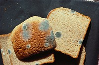 Mold Zygomycota growing on bread.