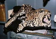 Confiscated leopard Panthera pardus skin and head mount, New York.
