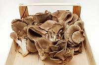 Oyster mushrooms Pleurotus ostreatus in wooden box