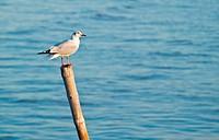 Seagull on Old Wooden Pillar