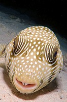 White-spotted puffer (Arothron hispidus), Red Sea, Egypt, Africa