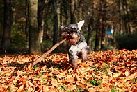 dog running with steak in the autumn park