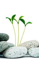 Pebbles and seedlings _ alternative medicine concept
