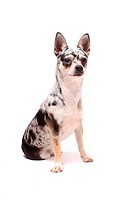 Cute little spotted chihuahua sitting dog portrait on a white background