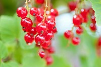 A close up of ripe Red Currants growing in a garden
