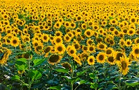 Field of sunflowers shot with no horizon to create endless effect